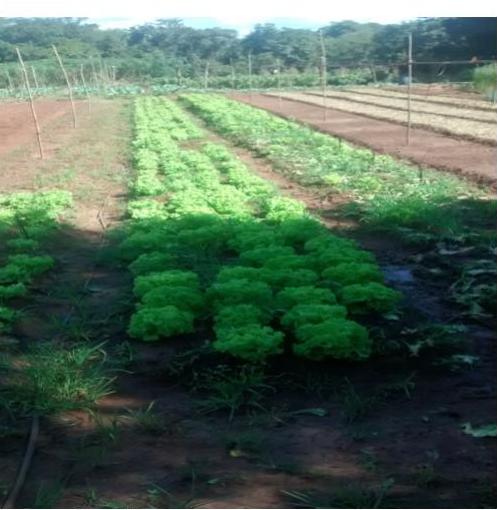Figura 3: Cultivo de alface Fonte: Autora do projeto